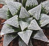 하월시아 백위미교배종(Haworthia 白wimii hybrid) 