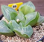피그마에아뮤턴트 Haworthia pygmaea