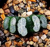 실생옥선 61-8 Haworthia truncata
