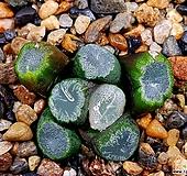 잔설만상 61-12 Haworthia maughanii
