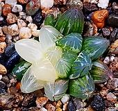블랙옵투사금 61-35 Haworthia cymbiformis var. obtusa