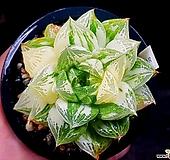 옵투사실생금(대묘) 62-5 Haworthia cymbiformis var. obtusa