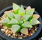 피그마에아실생 56-305 Haworthia pygmaea