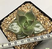 제이드스타 자구 ( Echeveria agavoides 'Jade Star', offset)|