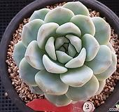 굿사이즈 아이시그린|Echeveria Ice green