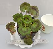 빌드베론로즈(제라늄)|Geranium/Pelargonium