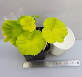 디컨골든라일락미스트(제라늄)|Geranium/Pelargonium