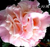서향동백.(외목대품-2)-동일품배송 
