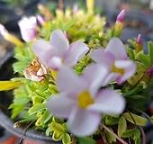 핑크엔화이트 옥살리스 사랑초|