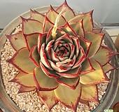 블랙로터스 환엽대형종 마리아|Echeveria agavoides Maria