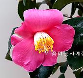 분홍향동백(외목수형*22)-동일품배송 