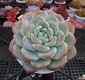 튼튼한~아이시그린(대품)1-1227|Echeveria Ice green