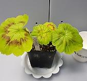인디안듄(제라늄)|Geranium/Pelargonium