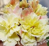 러쉬무어잠베이지(조날틱제라늄)|Geranium/Pelargonium