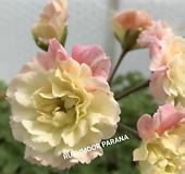 러쉬무어파라나(조날틱제라늄)|Geranium/Pelargonium
