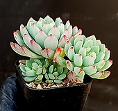 블루엘프 24-234|Echeveria blue elf