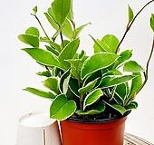 공기정화식물 호야 넝쿨식물 실내식물 음지식물 환희호야 하트호야|Hoya carnosa