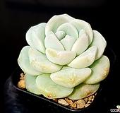 아이시그린(중) 25-371|Echeveria Ice green