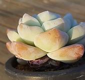묵은둥이 아이시그린|Echeveria Ice green
