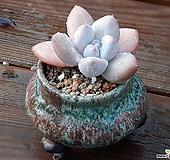후레뉴(분포함)|Pachyphytum cv Frevel