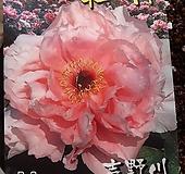 목단-요시노가와|