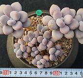 603 아메치스|Graptopetalum amethystinum