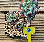 블루엘프 115_B68|Echeveria blue elf