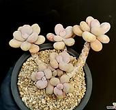 아메치스 26-447|Graptopetalum amethystinum