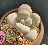 후레뉴+화분포함|Pachyphytum cv Frevel