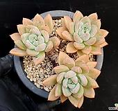 아메치스교배종 27-450|Graptopetalum amethystinum