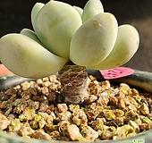 후레뉴+화분포함(화분채배송)|Pachyphytum cv Frevel