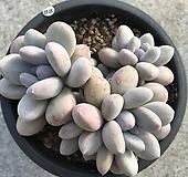 후레뉴자연군생 88|Pachyphytum cv Frevel