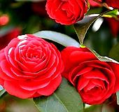 동백블랙로즈(꽃대수형/12)-동일품배송 