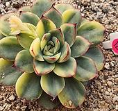 황홀한연꽃교배종금01187|Echeveria pulidonis