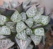 콤프토니아나 자구(Haworthia comptoniana)|