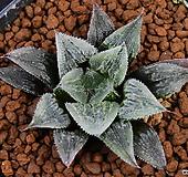 위미하이브리드 Haworthia wimii hyb 19|Echeveria Eve