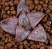 스프렌덴스 Haworthia splendens  30|