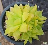 경화금   0118|Haworthia cymbiformis f. variegata