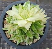경화금 군생   0118|Haworthia cymbiformis f. variegata