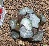 물고기화석만상184|Haworthia maughanii