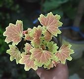 벤쿠버제라늄 빨간꽃 29|Geranium/Pelargonium
