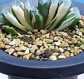 옥선 홍산반금|Haworthia truncata