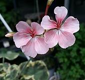 핑크돌리바든+쁘띠블랑쉬(제라늄2개)|Geranium/Pelargonium