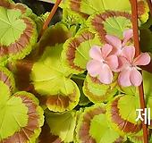 제니+빌드베론로즈(제라늄2개)|Geranium/Pelargonium