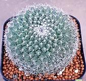 옹옥선인장  예뻐요 122|Haworthia truncata