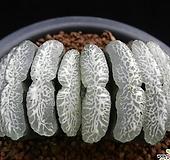 옥선 단지리 (Haworthia truncata Dahnjiri)(자구출신 소묘)|