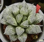 카시오페아 자구 소묘(Haworthia Cassiopeia, offset)|