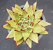 멕시코야생마리아|Echeveria agavoides Maria