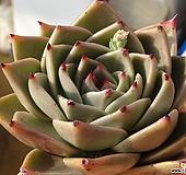 카민헤이즈(제이드스타교배종, 뿌리무)-수입|