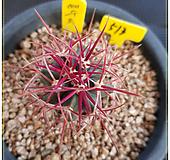 예수옥 선인장 실생|Haworthia truncata